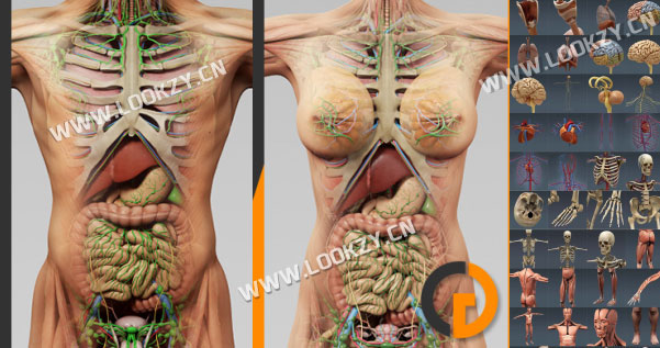 3D模型-医学人体骨骼内脏器官解剖精细模型下载(格式支持C4D/3DMAX)