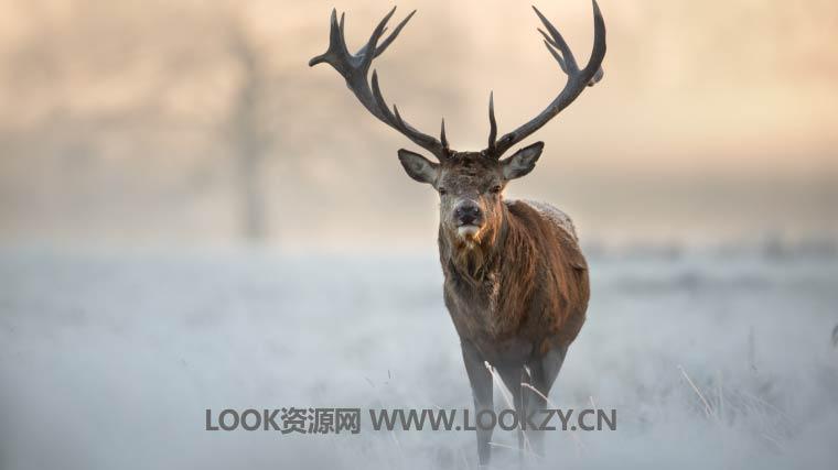 音频素材-野生动物森林咆哮叫唤声音效素材包 Roaring Stags